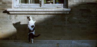 gatto che sia affaccia a una finestra curiosity driven